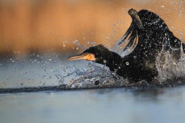 cormoran riviere odet bretagne finistere vol oiseau croisiere commentee