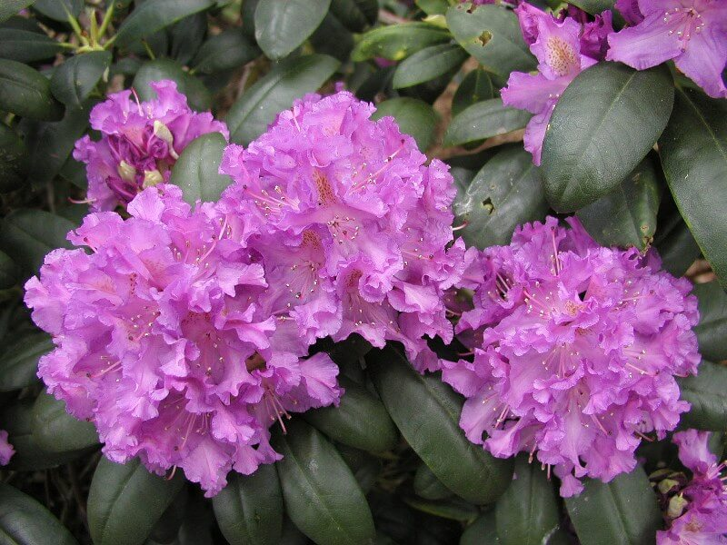 fleur rhododendrons riviere odet