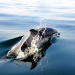 dauphin commun archipel glenan dorsale
