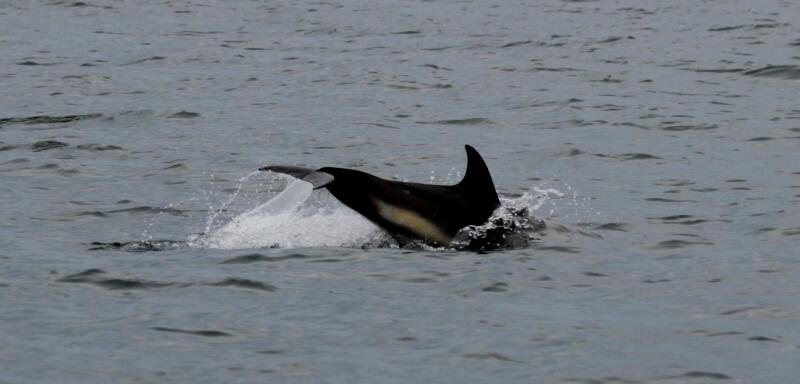 plogeon dauphin commun archipel glenan bretagne