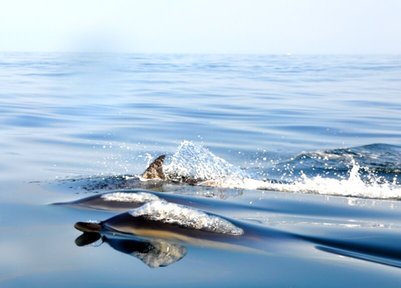 banc dauphins communs iles glenan finistere
