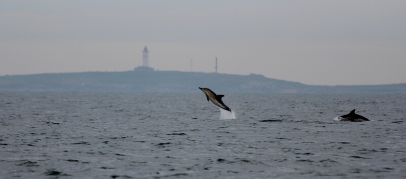saut dauphin commun iles glénan phare penfret