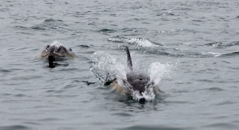 jeu dauphin commun archipel glenan finistere