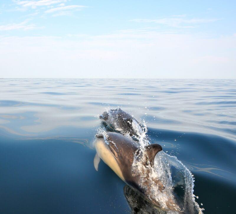dauphins communs iles glenan bretagne