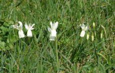 fleur narcisse glenan réserve protégée finistere