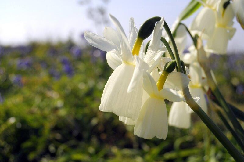 fleur narcisse glenan