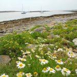 iles glenan saint nicolas rochers fleurs