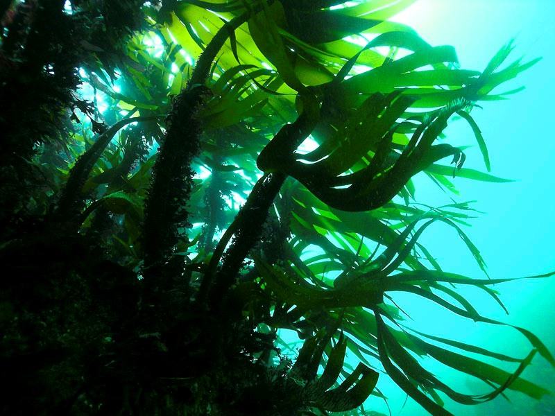 fonds marins archipel glenan laminaires