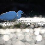 oiseau riviere odet aigrette garzette