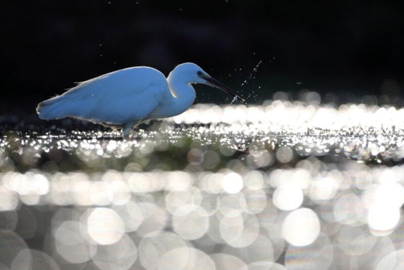 oiseau aigrette garzette riviere odet