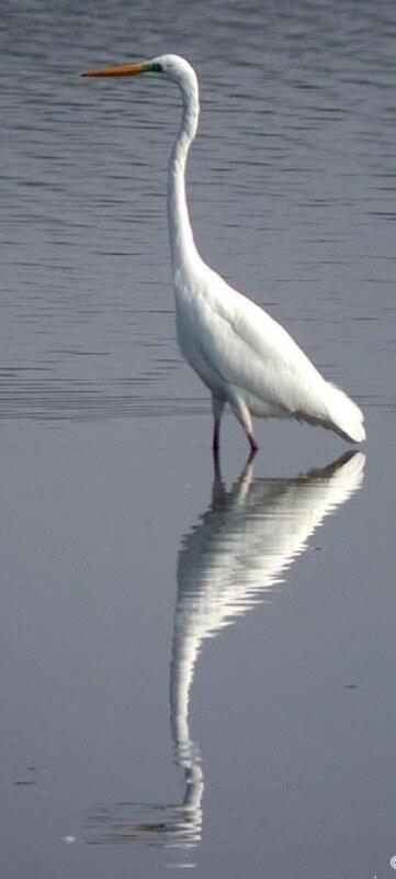 oiseau aigrette riviere odet