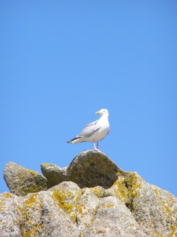 oiseau goeland argente rocher iles glenan