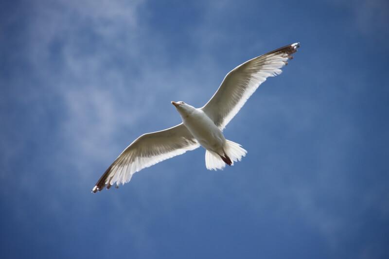 oiseau vol goeland argente iles glenan