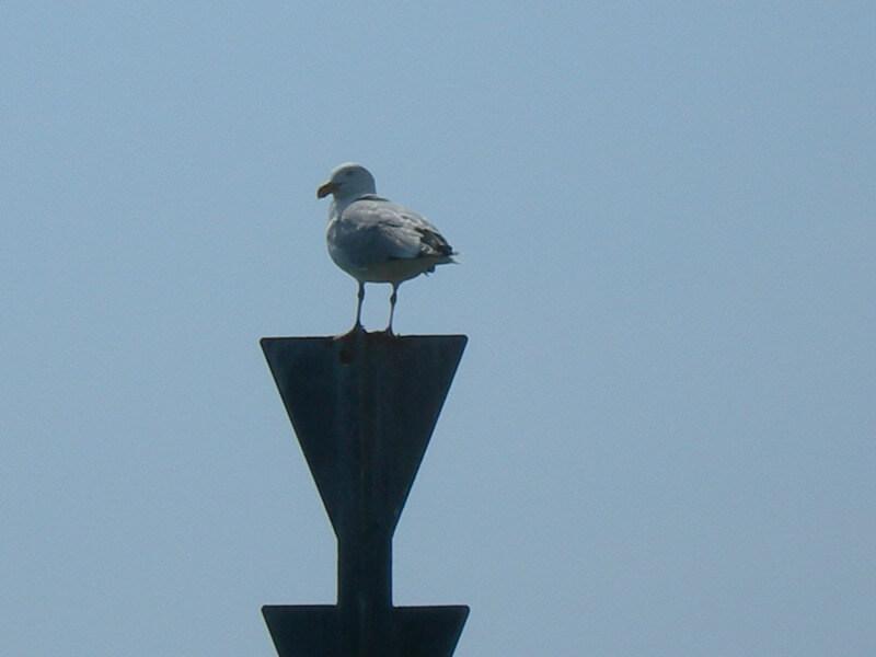 oiseau goeland argente balise mer