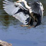 oiseau heron cendre riviere odet