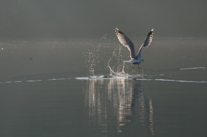 oiseau riviere odet goleand argente