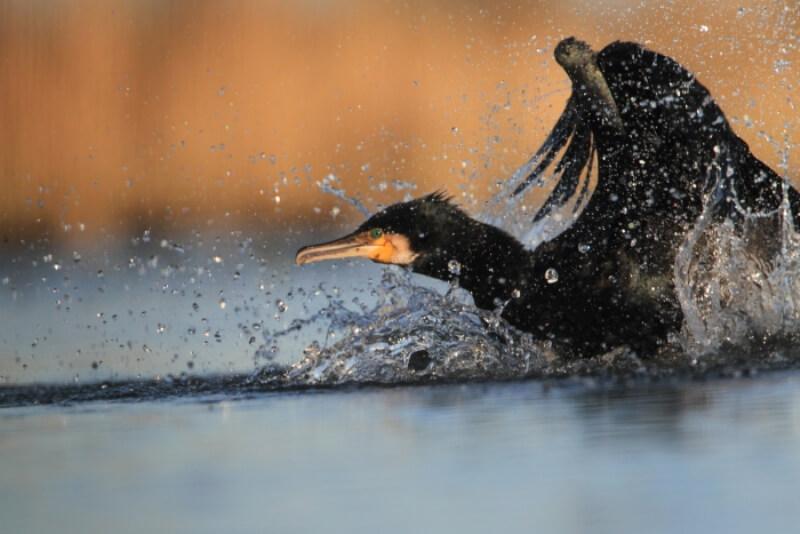 oiseau riviere odet bretagne cormoran noir